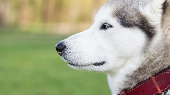 Portrait Of Siberian Husky In Profile. Dog Looks Away.