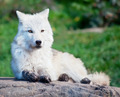 Young Arctic Wolf Lying Down on a Fall Day - PhotoDune Item for Sale