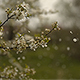Wind Blows Away the Petals - VideoHive Item for Sale