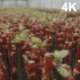 Panorama Of The Grape Seedlings In The Greenhouse - VideoHive Item for Sale