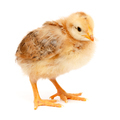 One little chicken standing on white - PhotoDune Item for Sale