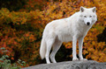 Arctic Wolf Looking at the Camera on a Fall Day - PhotoDune Item for Sale