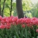 Pink Tulips Blowing In The Wind, Tulip Festival - VideoHive Item for Sale