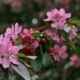 Pink Flowers Blossoms On The Branches Of The Cherry Tree - VideoHive Item for Sale