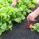 Gardener With Radish - VideoHive Item for Sale