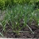Garden Bed Of Green Garlic - VideoHive Item for Sale