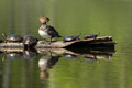Hooded Merganser - Lophodytes cucullatus - PhotoDune Item for Sale