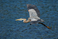 Great Blue Heron - Ardea herodias - PhotoDune Item for Sale