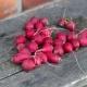 Red Siberian radish - VideoHive Item for Sale