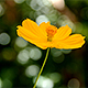 Yellow Cosmos Flower Swaying In The Wind - VideoHive Item for Sale