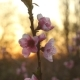 Peach Blossom With Sunshine - VideoHive Item for Sale