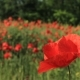 Field With Lots Of Red Poppies Flowers - VideoHive Item for Sale