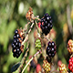 Blackberries Green Red And Black Swaying In Wind - VideoHive Item for Sale