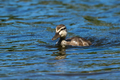 Mallard - Anas platyrhynchos - PhotoDune Item for Sale