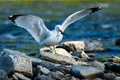 Ring-billed Gull - Larus dalawarensis - PhotoDune Item for Sale