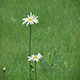 Flowers White Daisies - VideoHive Item for Sale