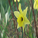 Yellow Narcissus Flower - VideoHive Item for Sale