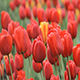 Big Red Tulips - VideoHive Item for Sale
