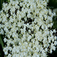Plant White Flowers - VideoHive Item for Sale