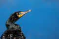 Double-crested Cormorant - Phalacrocorax auritus - PhotoDune Item for Sale