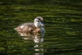 Wood Duck - Aix sponsa - PhotoDune Item for Sale