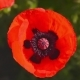 Bees Collect Nectar In The Flower Poppy 4 - VideoHive Item for Sale
