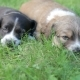 Two Little Puppy Dogs Lying On The Grass - VideoHive Item for Sale