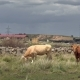 Cows on the Pasture Next to Road - VideoHive Item for Sale
