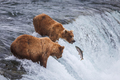 Grizzly Bears Fishing For Salmon - PhotoDune Item for Sale