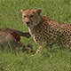 Cheetah and its Prey - VideoHive Item for Sale