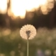 Beautiful View Of Dandelion Meadow In Sunlight - VideoHive Item for Sale