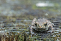 Grey frog or toad sitting on stump looking ahead - PhotoDune Item for Sale