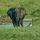 The Elephant Matriarch is Having a Mud Bath - VideoHive Item for Sale