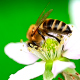 Bee on flower 03 - VideoHive Item for Sale