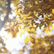 Yellow Autumn Leaves With Bright Sun Lens Flare - VideoHive Item for Sale