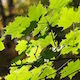 Green Maple Leaves Backlight with Light Breeze - VideoHive Item for Sale