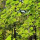 Green Maple Leaves Brightens Light Breeze - VideoHive Item for Sale