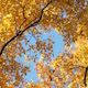Autumn Leaves Golden Yellow Against Blue Sky Light Breeze - VideoHive Item for Sale