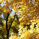 Golden Autumn Leaves Against Trees Slight Breeze - VideoHive Item for Sale