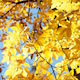 Bright Yellow Autumn Leaves Against Blue Sky Slight Breeze - VideoHive Item for Sale