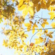Yellow Autumn Leaves Against Bright Sky Slight Breeze - VideoHive Item for Sale