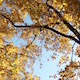 Golden Autumn Leaves against Blue Sky - VideoHive Item for Sale