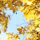 Yellow Autumn Leaves Against Bright Sky Slight Wind - VideoHive Item for Sale