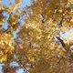 Golden Autumn Leaves Against Blue Sky with Light Breeze - VideoHive Item for Sale