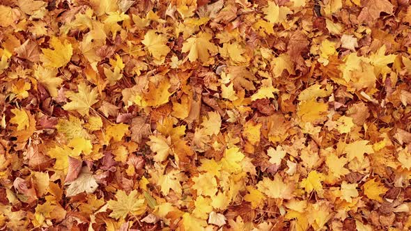 Seamless Looped Autumn Leaves Background