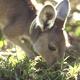 Kangaroo Eating - VideoHive Item for Sale