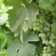 Green Grapes On The Vine Sway - VideoHive Item for Sale