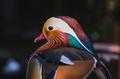 Mandarine duck - PhotoDune Item for Sale