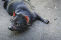 Tasmanian Devil - PhotoDune Item for Sale