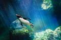Penguin diving - PhotoDune Item for Sale